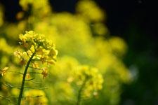 菜の花の花の画像011
