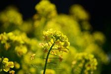 菜の花の花の画像012