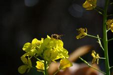 菜の花の花の画像013
