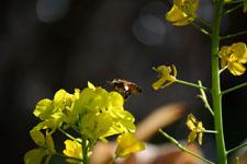 菜の花の花の画像014