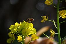 菜の花の花の画像015
