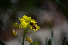 菜の花の花の画像016