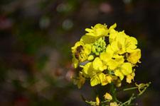 菜の花の花の画像017