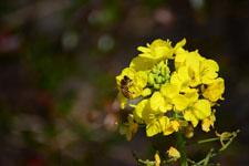 菜の花の花の画像018