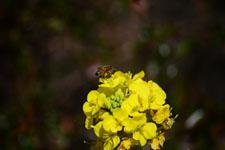 菜の花の花の画像019