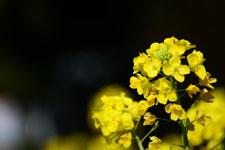 菜の花の花の画像020
