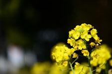 菜の花の花の画像021