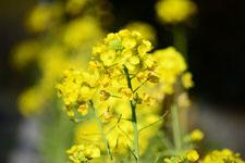 菜の花の花の画像022
