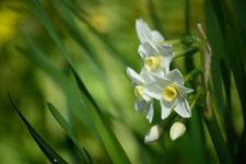 白い水仙の花の画像003