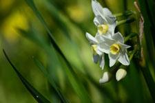 白い水仙の花の画像004