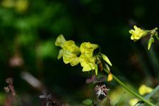 オオキバナカタバミの花の画像001