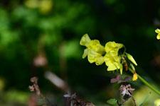 オオキバナカタバミの花の画像002