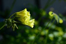オオキバナカタバミの花の画像003