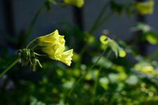 オオキバナカタバミの花の画像004