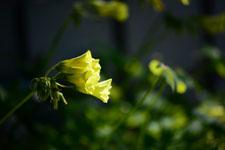 オオキバナカタバミの花の画像005