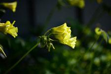 オオキバナカタバミの花の画像006
