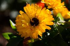 菊の花の画像003