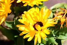 菊の花の画像004