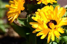 菊の花の画像005