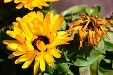 菊の花の画像006