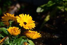 菊の花の画像007