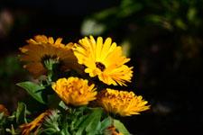 菊の花の画像008