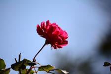 赤い薔薇の花の画像001