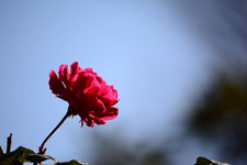 赤い薔薇の花の画像002