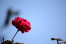 赤い薔薇の花の画像003