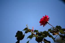 赤い薔薇の花の画像004