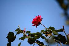 赤い薔薇の花の画像005
