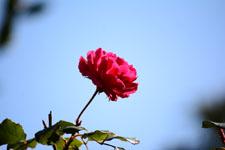 赤い薔薇の花の画像006