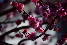 紅梅の花の画像002