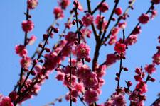 紅梅の花の画像004