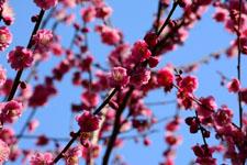 紅梅の花の画像006