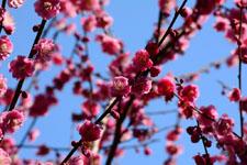 紅梅の花の画像008
