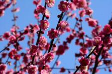 紅梅の花の画像010