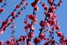 紅梅の花の画像012