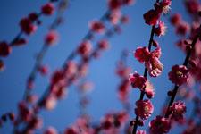 紅梅の花の画像014