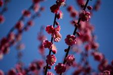 紅梅の花の画像015