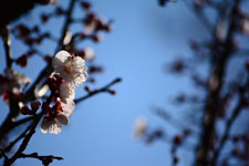 紅梅の花の画像016