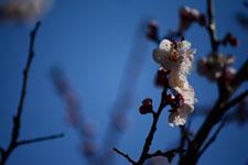 紅梅の花の画像017