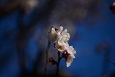 紅梅の花の画像018