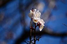 紅梅の花の画像019