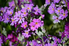 プリムラの花の画像001