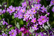 プリムラの花の画像002