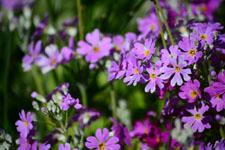 プリムラの花の画像003
