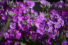 プリムラの花の画像004