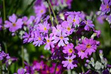 プリムラの花の画像005