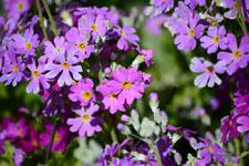 プリムラの花の画像006
